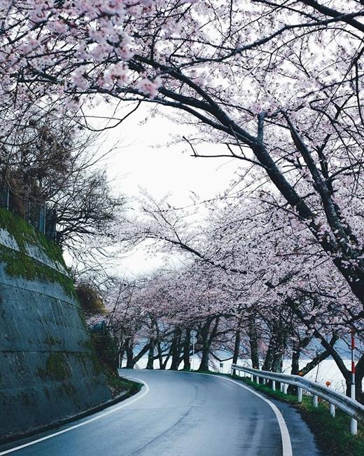 Cung đường vắng rợp sắc hồng phơn phớt của hoa anh đào như dẫn lối vào giấc mơ.(Nguồn: Bored Panda)