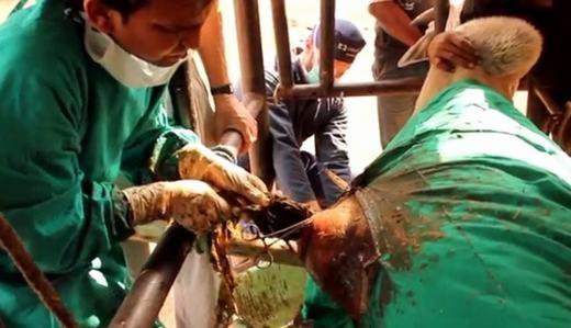Cận cảnh quá trình phẫu thuật lấy vật thể lạ trong bụng chú bò. (Ảnh cắt từ clip)