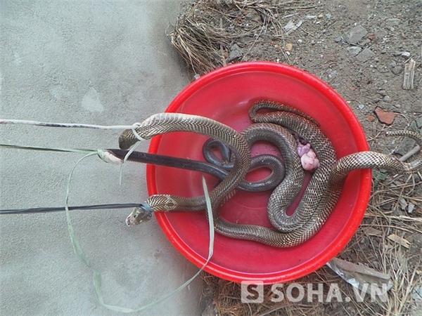 Ba con rắn độc đã bị giết chết. Ảnh: Tri thức trẻ