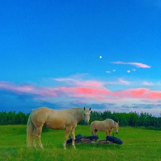 Đừng nhầm bức ảnh này là hình vẽ minh họa cho tập truyện cổ tích thiếu nhi nào nhé. Bầu trời xanh với gợn mây hồng, bên dưới là đồng cỏ mướt mắt, hai chú ngựa thảnh thơi gặm cỏ... bạn sẽ dễ dàng nhìn thấy cảnh này ởTomahawk, Alberta.(Nguồn IG @corrine_t)
