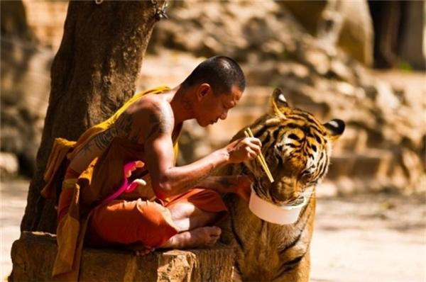 Một tu sĩ chia sẻ bữa ăn của mình với chú hổ.