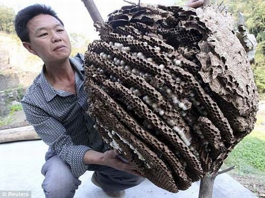 Một số tổ ong khác được tìm thấy trước đây. (Ảnh: Internet)