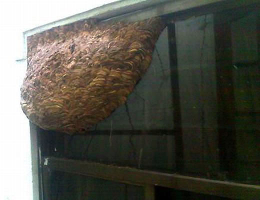 Một số tổ ong lớn được tìm thấy tại Việt Nam. (Ảnh: Internet)