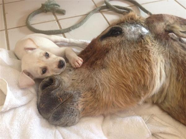 Chú lừu hi sinh cứu chú chó nhỏ.