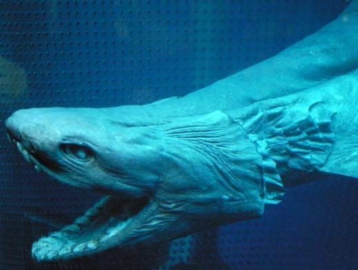 Cá mập mào có khuôn mặt của một con mãng xà. Nó cũng cực kì hung dữ, được mệnh danh là sát thủ đại dương. Tuy nhiên, bạn sẽ không phải lo bịtấn công đâu, vì nó sống ở độ sâu hàng ngàn mét dưới đáy biển.(Ảnh: Internet)