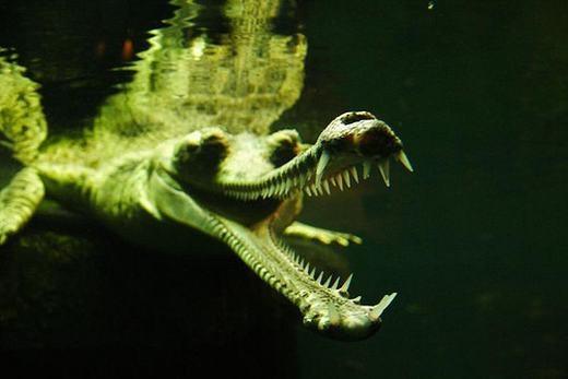 Cá sấu Gharial (còn gọi làcá sấu Ấn Độ) là một trong những loài cá dài nhất thế giới còn tồn tại (6 mét). Chúng cũng có ngoại hình bạo chúa, đặc biệt là hàm răng sắc nhọn. Tuy nhiên, loài động vật này lại khá hiền và rất ít khi tấn công con người.(Ảnh: Internet)