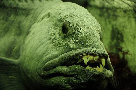 """Khi cá sói """"cười"""" mọi loài đều kinh hãi.(Ảnh: Internet)"""