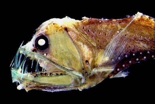 """Cá rắn Viper được mệnh danh là loài có """"nhan sắc"""" tệ nhất thế giới nói chung và đáyđạidương nói riêng. (Ảnh: Internet)"""