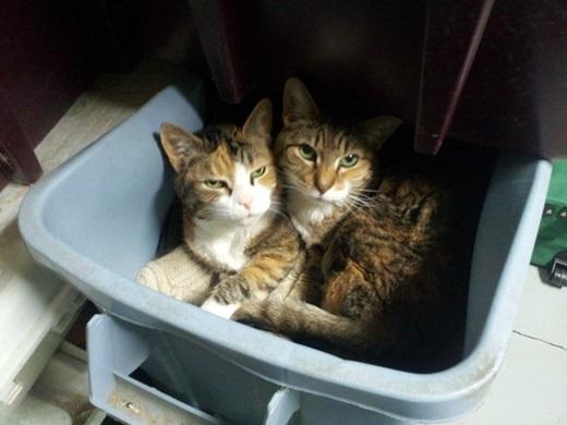 """""""Chúng con không phải mèo cơ nhỡ, chỉ là đột nhiên có sở thích nằm thùng rác thôi ạ"""".(Nguồn: viralnova.com)"""