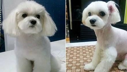Các dịch vụ làm đẹp phổ biến nhất cho chó ở Hàn Quốc bao gồm cắt ngắn đuôi và gọt tai. Ảnh: Chosun Daily.