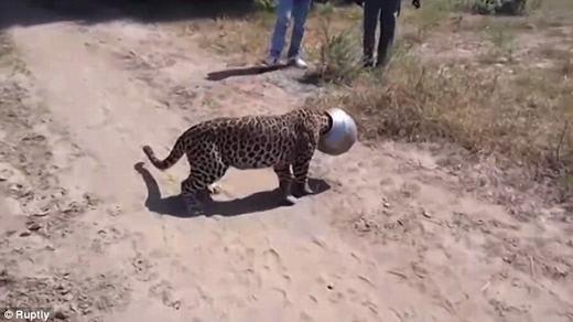 Cuối cùng, một chuyên gia về động vật của địa phương đã tiến hành khống chế, tiêm thuốc mê và gỡ chiếc bình ra khỏi đầu chú báo. (Ảnh chụp màn hình)