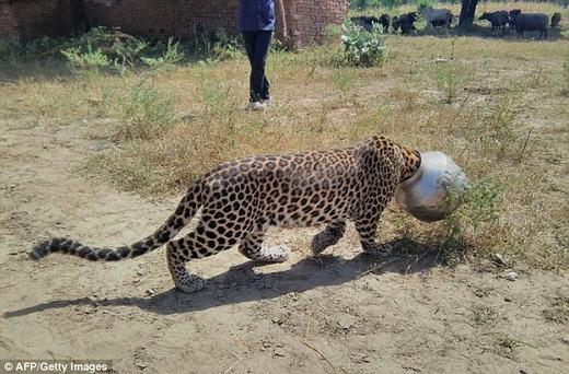Theo chuyên gia động vật, sức khỏe con báo nàyđang tiến triển rất tốt, không có thương vong nghiêm trọng nào xảy ra. (Ảnh: AFP)