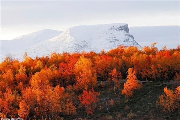 Cây cối chuyển màu đỏ rực tại công viên quốc gia Abisko, Thụy Điển trên nền núi tuyết trắng xóa.