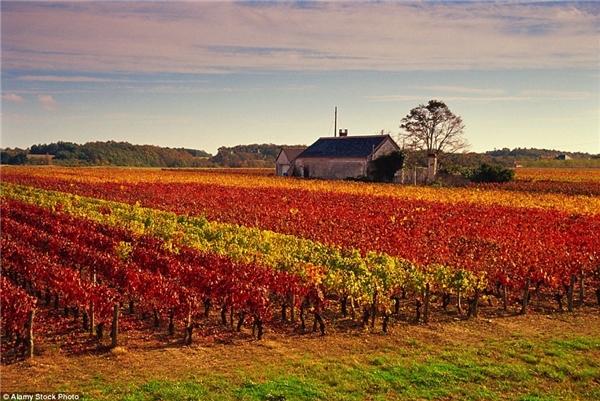 Mùa thu rực rỡ tại thung lũng Loire chuyên trồng nho làm rượu vang ở Pháp.