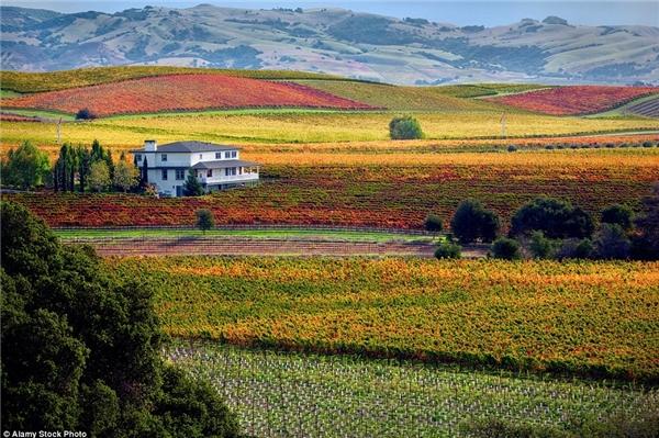 Thung lũng trồng nho Napa ở California đẹp mơ màng.