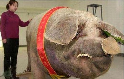 Một con lợn ở Trung Quốc đạt tới trọng lượng 900kg.