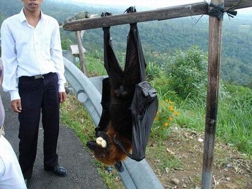 Loài dơi ăn hoa quả Malaysia có thể phát triển chiều dài sải cánh tới 1,7 mét.