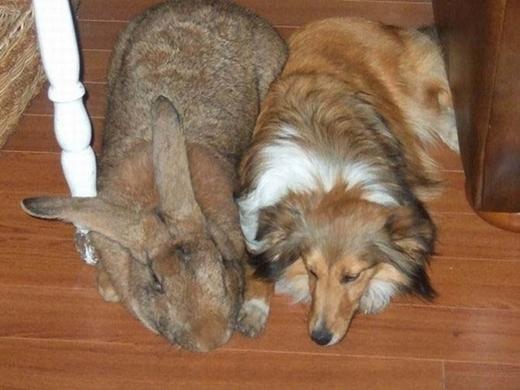Một con thỏ Flanders to lớn hơn cả một con chó nhà.