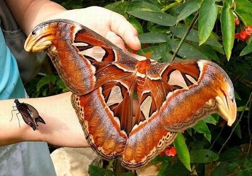 Một con bướm Atlas được phát hiện với đường kính cơ thể lên tới 30cm.