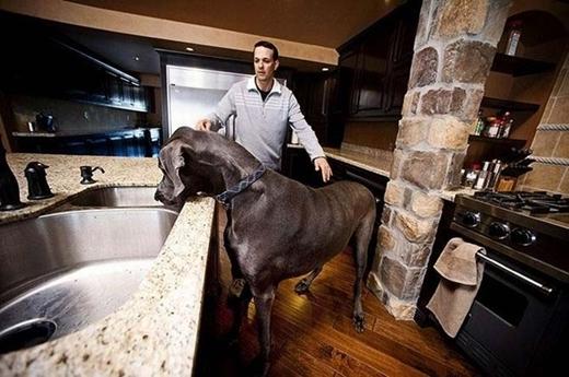 Chú chó giống Great Dane, có tên George đã phát triển chiều dài cơ thể tới 2,21 mét.