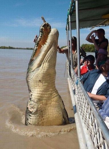 """Cá sấu """"quái vật"""" Brutus khét sông Adelaide, Australia có chiều dài cơ thể lên tới 5,5 mét."""