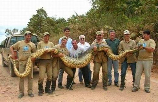 Trăn Nam Mỹ khổng lồ dài tới 12 mét.