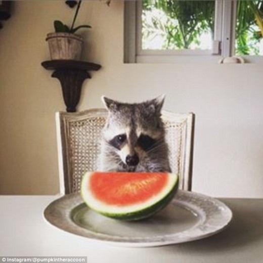 Món ăn yêu thích nhất của cô gấu mèo nhỏ là dưa hấu và trứng lòng đào.(Nguồn: Daily Mail)