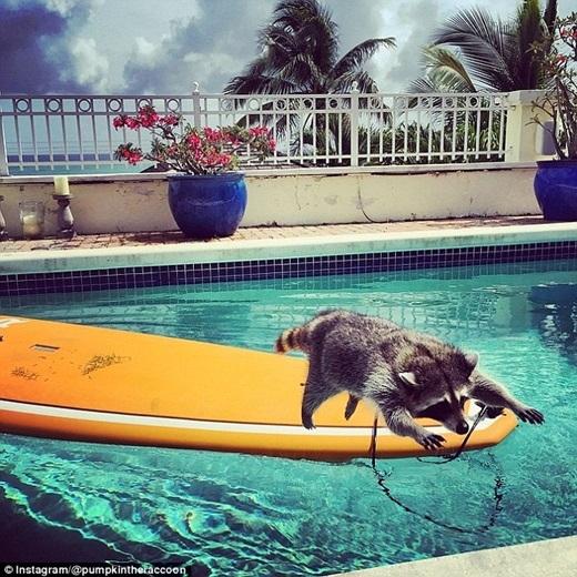 """Trên trang mạng xã hội của Pumpkin tràn ngập những hình ảnh cô nàng tận hưởng cuộc sống """"bất thường"""" đối với một động vật hoang dã: tắm nắng trên hồ bơi, chơi đùa tạighế sô pha và ăn uống thoải mái.(Nguồn: Daily Mail)"""