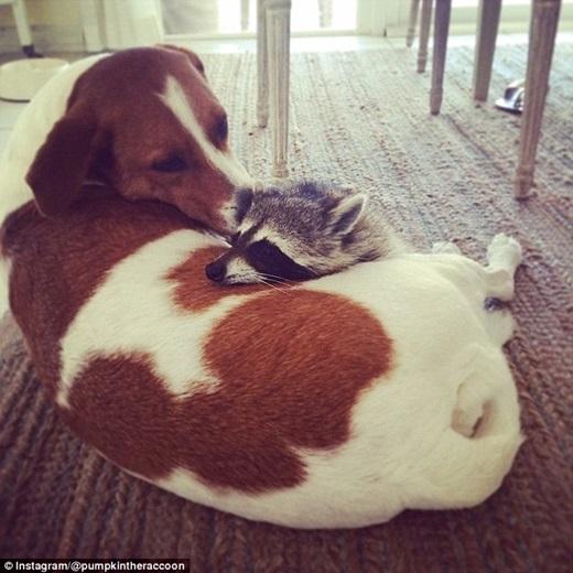 Pumpkin nhanh chóng kết bạn với hai chú chó và thích theo chúng mọi lúc mọi nơi.(Nguồn: Daily Mail)