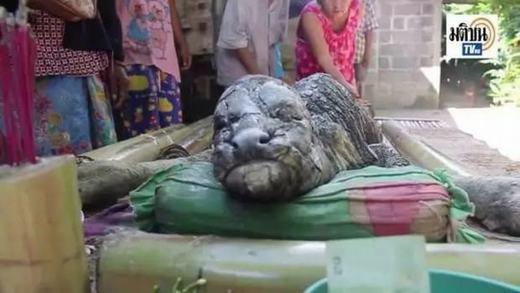 Xuất hiện trâu lai cá sấu khổng lồ khiến người dân phát hoảng