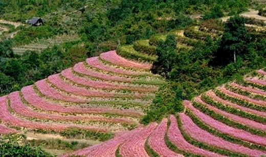 Bốn bề phủ một màu hồng của hoa tam giác mạch. (Nguồn: Internet)