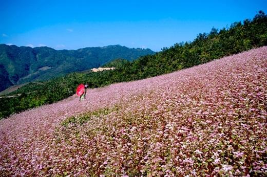 Lộng lẫy nhất phải kể đến Hà Giang – chốn Đồng Văn, Xín Mần, Hoàng Su Phì thấp thoáng giấc mơ mang sắc hồng của hoa tam giác mạch.(Nguồn: Internet)