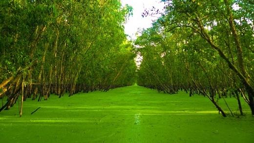 Rừng tràm Trà Sư phủ một màu xanh của tràm, phía dưới là đám bèo tây mơn mởn giăng kín mặt nước tạo thành một dòng sông xanh hút mắt. (Nguồn: Internet)