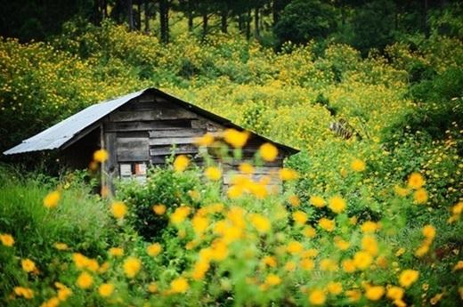 Căn nhà gỗ thấp thoáng sau rừng hoa dã quỳ, không khác gì tiên cảnhbước ra từ truyện cổ tích.(Nguồn: Internet)