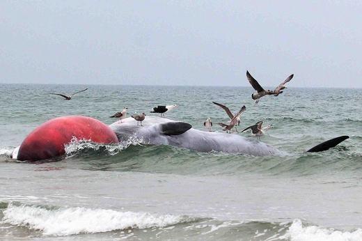 """Từ hình ảnh cho thấy, """"cụ"""" cá rất lớn, phía trước có một """"quả bóng"""" màu đỏ, thực chất là chiếc lưỡi bị phình to sau khi chết. Đây là dấu hiệu bắt đầu của sự phân hủy xác. (Ảnh: Internet)"""