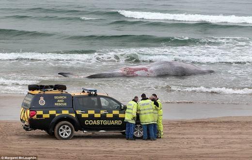 Các nhân viên cứu hộ sau đó đã có mặt để xác định nguyên nhân, cũng như tìm phương pháp xửlí cái xác, bởi nếu không, bờ biển sẽ bốc mùi hôi thối. (Ảnh: Internet)