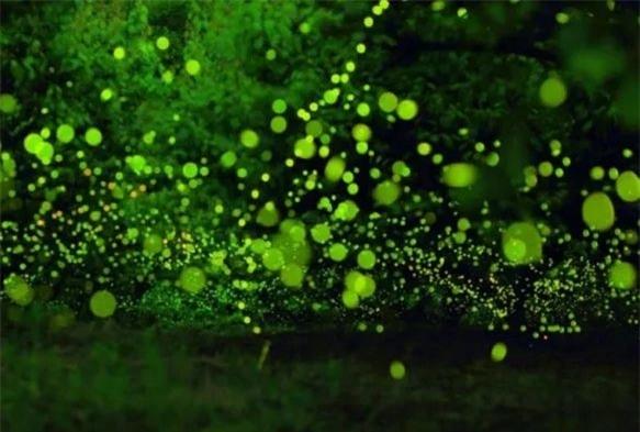 Trước kia, loài đom đóm rất phổ biến trong tự nhiên tại Trung Quốc, nhất là vào mùa hè. Tuy nhiên gần đây số lượng đom đóm đã suy giảm nghiêm trọng do ô nhiễm môi trường.