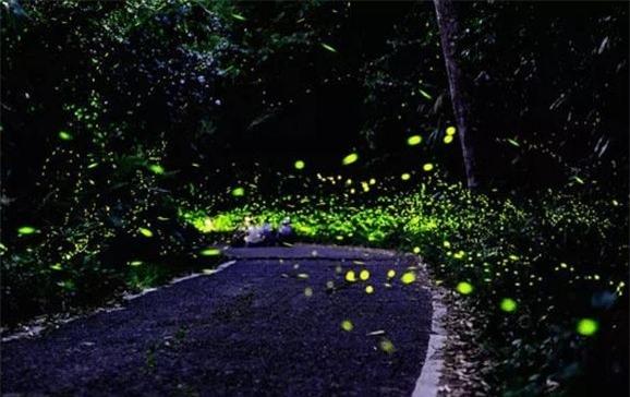 Lối đi tràn ngập ánh sáng đom đóm khiến du khách ngây ngất.