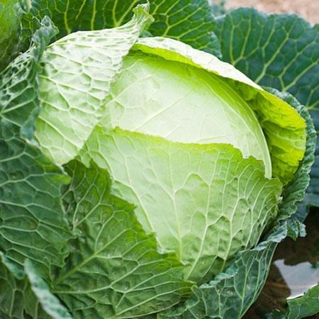 Những lợi ích không ngờ cho sức khỏe từ bắp cải