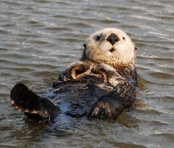 Rái cá – otter thuộc nhóm động vật có vú, với 13 loài khác nhau phân bố khắp nơi trên thế giới, ngoại trừ Bắc Cực và Úc. Đã có nhiều bằng chứng cho rằng rái cá xuất hiện trên Trái đất từ 5 triệu năm trước
