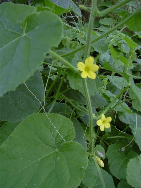 Đặc biệt khác với các loại dưa chuột thông thường khác, lá của loài dưa chuột đặc biệt này được các bà nội trợ ở Nam Phi biết đến như một loại rau xanh thông dụng. Khi ăn lá của chúng có mùi vị giống như ăn rau chân vịt.