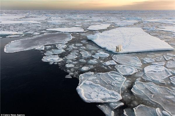 Chú gấu bị mắc kẹt trên những tảng băng trôi (Ảnh: dailymail)