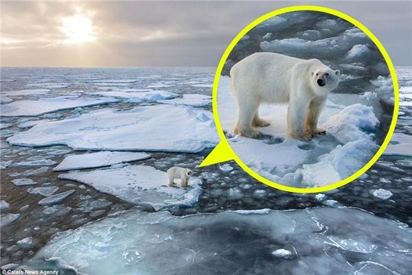 Gấu Bắc Cực thường dùng băng để di chuyển trong khi đi săn,nhưng thường sống và làm nhà trên đất liền. (Ảnh: dailymail)