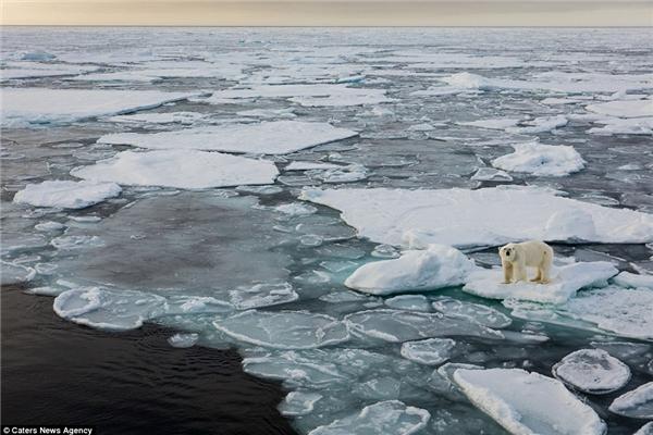Gấu Bắc Cực nằm trong danh sách những loài động vật đang gặpnguy hiểm của tổ chức Đời sống hoang dã thế giới,do tình trạng băng tan khiến chúng gặp khó khăn trong việc đi săn. (Ảnh: dailymail)
