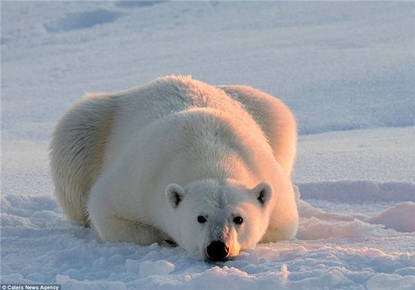 Chú gấu nằm dài trên tảng băng và nhìn thẳng trực tiếp vào ống kính của nhiếp ảnh gia (Ảnh: dailymail)