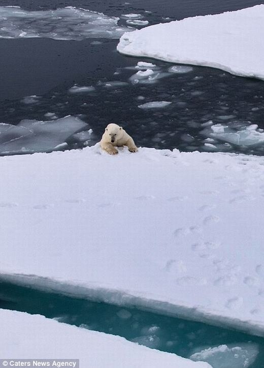 Joshlo lắng trong tương lai, loài gấu Bắc Cực sẽ dần biến mất và bị tuyệt chủng hoàn toàn. (Ảnh: dailymail)