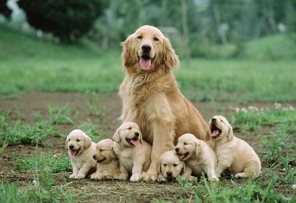 Bà mẹ và 6 chú cún quấn quýt bên nhau.