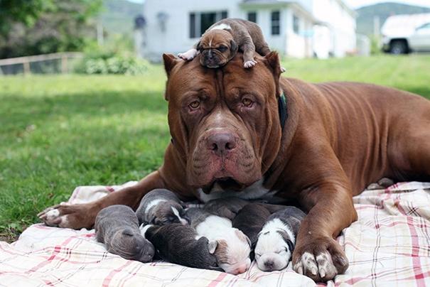 Chú chó pitbull lớn nhất thế giới bên đàn con nhỏ.