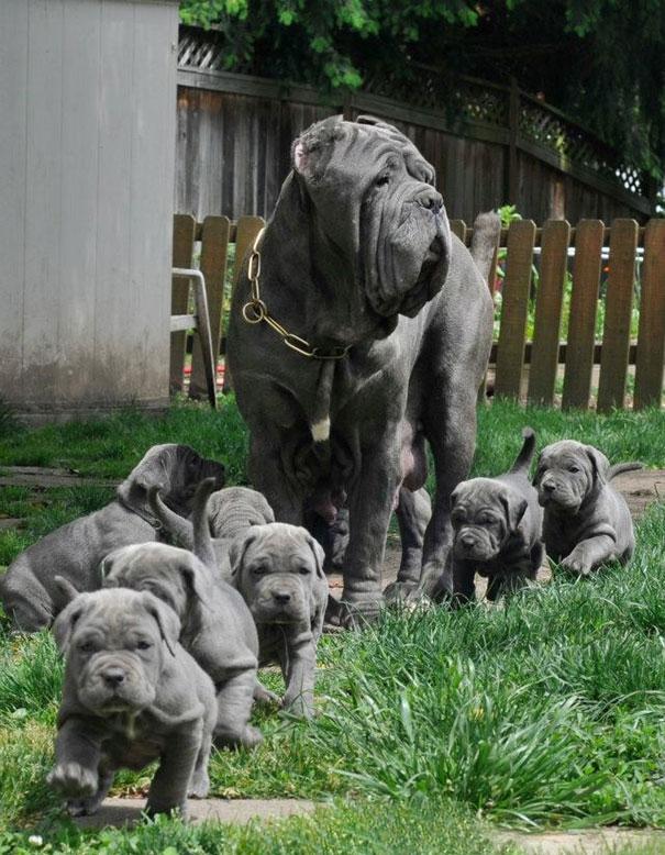 """Gia đình hạnh phúc của """"mẹ chó mặt xệ"""" cùng 7 đứa con dễ thương."""