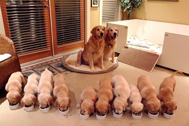 Đại gia đình: 10 chú cún con.